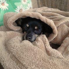 Zwergpinscher Trixi So schön eingewickelt macht mir auch der Wind nichts aus! #Hund: Trixi / #Rasse: Zwergpinscher      Mehr Fotos: https://magazin.dogs-2-love.com/foto/zwergpinscher-trixi/ Foto, Hund
