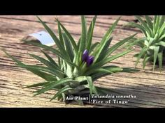 Air Plants: Biology and Diversity (3/30/13) - YouTube