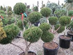 """Juniper Pfitzer Pom Pom: focal point of your 'formal garden' area off driveway~ very interesting & pretty! Spiral conifers in corners with Yaupon Hollies between to form a square- nice. (Hard to make that area work with the """"+"""" shape)"""