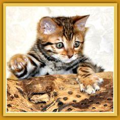 Amazing Bengal Kitten. I want one!