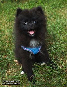 Oakley the Pomeranian
