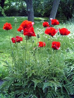 Papaver (Poppy): Can be annuals, biennials or herbaceous perennials with simple or pinnately divided leaves and short-lived, saucer-shaped, 4-petalled flowers which may be solitary or in racemes.  Grow in deep, fertile, well-drained soil in full sun or partial shade.
