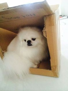 """I have my days too!"" #dogs  #pets #Pekingese  Facebook.com/sodoggonefunny"
