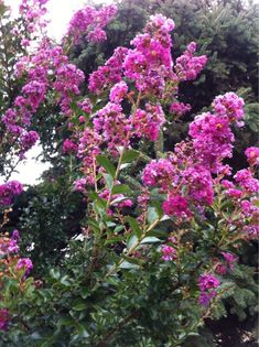 Crape Myrtle (lagerstroemia): This appears to be a crape myrtle, a deciduous tree or shrub noted for large flower clusters all summer and handsome bark. Best in full sun with regular water and fertilize in spring and summer. There are many cultivars in many different colors and all are beautiful.