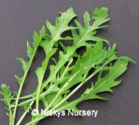 Rocket Wild Discovery 2 gram Discovery 2, Herb Seeds, Perennials, Nursery, Herbs, Room Baby, Herb, Baby Room, Perennial