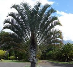 Common Name: Triangle Palm, Scientific Name: Neodypsis decaryi, Hardiness Zone: Height: Spread: Tropical Landscaping, Landscaping Plants, Tropical Garden, Tropical Plants, Garden Plants, Fruit Trees, Trees To Plant, Palm Trees, Plant Leaves