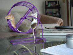 Tips On Raising Fancy Mice As Pets I love my mice. Fannccyyyy miiccceeee ❤️❤️❤️