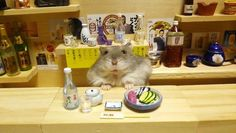 Ginji the hamster tends miniature bar, serves tiny sushi, makes everyone smile from his cuteness