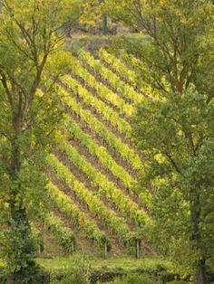 Vineyard Framed by Trees, Tuscany, Italy. Photo: Adam Jones