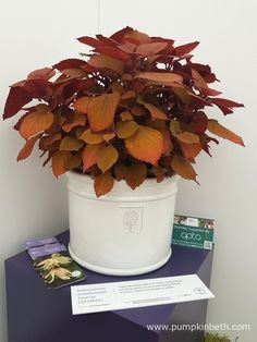 Solenostemon scutellarioides CAMPFIRE ('Uf12823') is a new Solenostemon that has been bred to provide greater vibrancy to container growing.