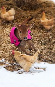 calf playing with chickens