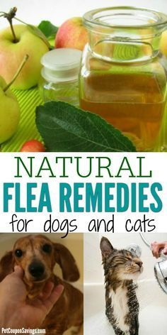 Cat Care Remedies These Natural Flea Remedies for dogs and cats are all natural and easy to make. Flea killer for dogs and cats does not need to be filled with chemicals to be effective. Try these natural flea killer recipes instead! Flea Spray For Dogs, Flea Shampoo For Dogs, Cat Shampoo, Homemade Flea Shampoo, Homemade Flea Spray, Homemade Dog, Natural Flea Killer, Natural Flea Spray, Natural Oil