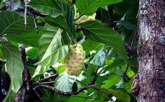 Elnoni es una fruta que se está volviendo más popular debido a sus propiedades beneficiosas.El jugo de Noni se embotella y se vende en todo el mundo.Lo cual es muy saludable ¿Cual es el origen d…