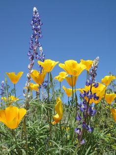 Poppies and lupine, Tonto National Forest near Bartlett Lake; photo by Desert Foothills Land Trust