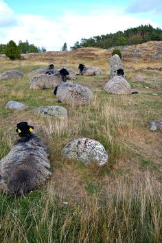 Sheep grazing on an ancient burial ground. Pilane Sculpture Garden - Itinerary: Four Days in West Sweden