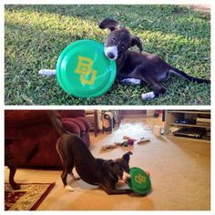 """""""Baylee Bear has been flinging green and gold since day one! #SicEm"""""""