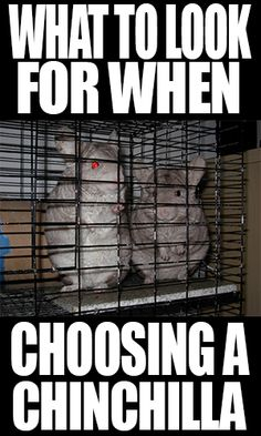 What to Look for when Choosing a Chinchilla to Bring Home