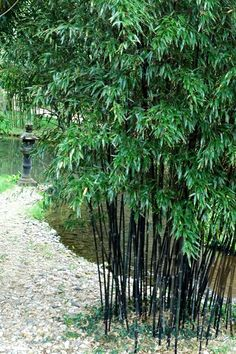 Black Bamboo Backyard clumping bamboo landscape privacy screen decoration Source: website pin hillend Source: website phyllostachys n. Phyllostachys Nigra, Garden Privacy, Privacy Landscaping, Black Bamboo Plant, Buy Bamboo Plants, Irrigation, Bamboo Landscape, Bamboo Species, Clumping Bamboo