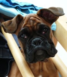 """Visit our site for even more details on """"boxer dogs"""". It is an outstanding locat… - Belezza,animales , salud animal y mas Boxer Breed, Boxer Puppies, Cute Puppies, Cute Dogs, Brindle Boxer, Boxer And Baby, Boxer Love, Beautiful Dogs, Animals Beautiful"""