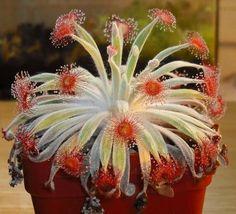Drosera Ordensis Carnivorous Very Rare Plant  Woolly Sundew Petiolaris
