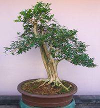RP: Orange Jasmine Tree