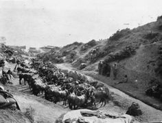 Mules lined up in a gully above a beach, Gallipoli, Turkey. Photographed by an unknown photographer in 1915. Lines of mules, Gallipoli, Turkey. Powles family :Photographs. Ref: PA1-o-811-19-4. Alexander Turnbull Library, Wellington, New Zealand. http://natlib.govt.nz/records/23120161
