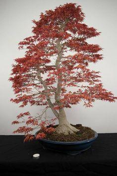 Bonsai Japanese maple, Acer palmatum Beni chidori
