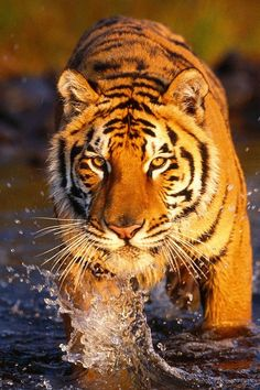 The tiger is a smart animal. It has great potential. It is a big feline that is orange with black and white stripes. It can run very fast.