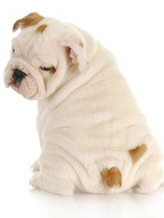 Super cute  bulldog puppy!