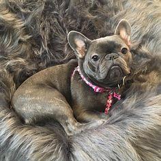 Lola, such a beautiful French Bulldog