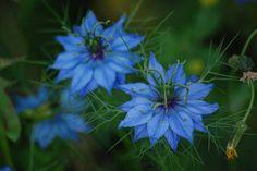 Nigella - self seeding flower