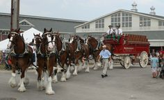 Your smile for today...  Multiple videos of Budweiser's Clydesdale ...CLICK PHOTO TO LINK