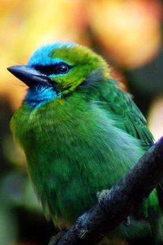 A Golden Naped Barbet