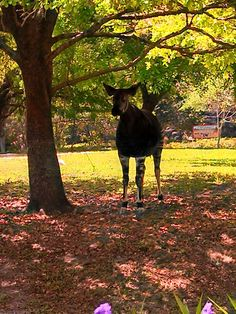 Okapi (if you dont believe me look it up on the internet)