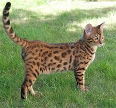 Image result for bengal cats