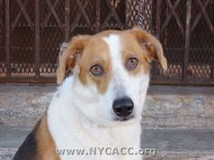 URGENT! THIS DOG WILL BE EUTHANIZED UNLESS A HOLD IS PLACED ON HER BY NOON EST 6/25/14.  LOG IN TO THE AT RISK LIST TO PLACE A HOLD AND SAVE A LIFE.  http://nycacc.org/PublicAtRisk.htm             ................Brooklyn Center  My name is JULIA. My Animal ID # is A1003186. I am a spayed female tricolor collie smooth and beagle mix. The shelter thinks I'm about 10 years old.