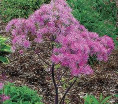A risqué name for what is, admittedly, a seductive plant. Thalictrums—the Meadow Rues—are elegantly long-legged plants, and Thalictrum 'Black. Brown Flowers, Lavender Flowers, Pretty Flowers, Sheridan Nurseries, Fast Growing Shrubs, White Flower Farm, Flower Bird, Flowering Shrubs, Gardens