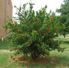 "Temple College - Landscape Featured Plant/ Pomegranate ""Wonderful"" - Punica granatum var. Wonderful"