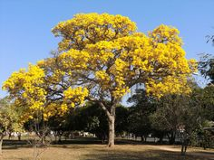 """GOLDEN TRUMPET Tabebuia chrysotricha TREE YELLOW BLOOMS LIVE PLANT 8"""" +"""
