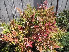Heavenly Bamboo    Nandina domestica    Hardiness: 6-9.   Mature size:  Height 6 feet (2 m).   Width: 5 feet (1.5 m).   Flowering period:  Late spring to early summer.   Flowering attributes:  Clusters of white to creamy, star-shaped flowers with yellow anthers.   Fruit:  Clusters of bright red, globular fruit.   Leaf attributes:  Evergreen, lance-shaped, alternate, bi- to tri-pennately compound, green leaves, that turn purple to bronze tints in autumn and winter.   Sun or light shade.