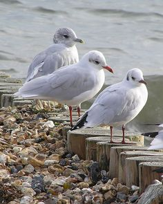 Black-headed, Mediterranean & Common Gull by sandlings, via Flickr