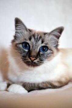 Cats and Kittens by SábaCat Birman Beauty Cattery, Cats And Kittens, Animals, Beauty, Cats, Animales, Animaux, Animal, Animais