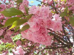 Flowering Cherry 'Kwanzan' (dbl. pink)