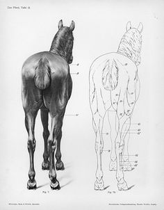 The horse: These are caudal views (from the rear) of the hindlimbs displaying the musculoskeletal system and palpable bony landmarks deep to the skin.