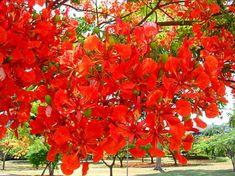 akazienblüten rot - Google-Suche