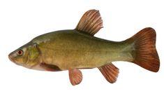 Here we run through the various British freshwater coarse fish. From UK river fish to lake fish species, it's all covered. Wels Catfish, Grass Carp, Fish Cake Birthday, Image Of Fish, Common Carp, Pebble Painting, Pattern Drawing, Freshwater Fish, Fresh Water