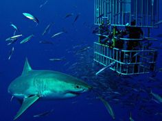 Elaine- Graphic Designer: Cage dive with Great White sharks in South Africa. Shark Diving, Reef Shark, Scuba Diving, Cage Diving With Sharks, Shark Cage, Diving School, Summer Surf, Great White Shark, Shark Week