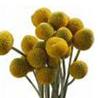 yellow globe shaped flowers