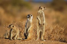 Suricates,_Namibia-2.jpg (3008×2000)