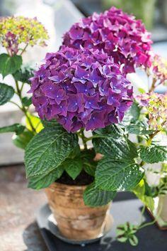 Kukkiva puutarha komistuu jalohortensialla | Viherpiha